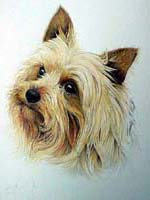 Yorkshire Terrier pet portrait